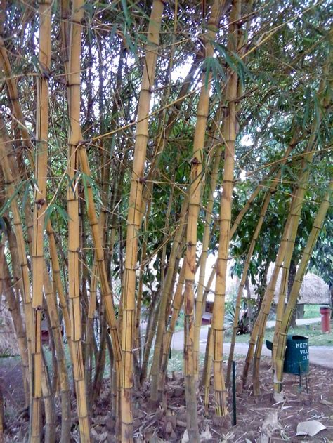 Types Of Garden - 1 of d many varieties of bamboo