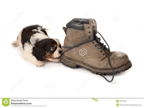 puppy boot c puppy with boot stock image image 16136151