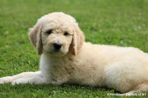 goldendoodle puppy for sale wisconsin apricot goldendoodle puppies for sale in wisconsin