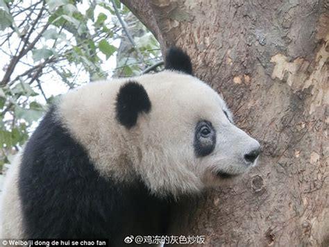 Piyama Anak Panda Putih Hitam lingkaran mata hitam panda bertukar putih mynewshub