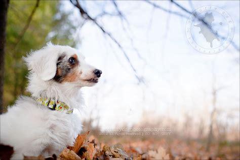 golden retriever rescue toronto ontario miniature dachshund rescue ontario dogs our friends photo