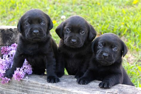 labrador retriever puppies mn chocolate labrador retriever puppies for sale minnesota photo