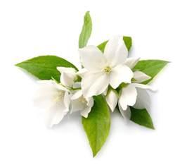 Fragrant Jasmine Plants - jasmine flower infusion lush fresh handmade cosmetics uk