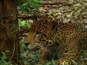 Tropical Rainforest Jaguar Jaguar Rainforest Central America Sd Stock