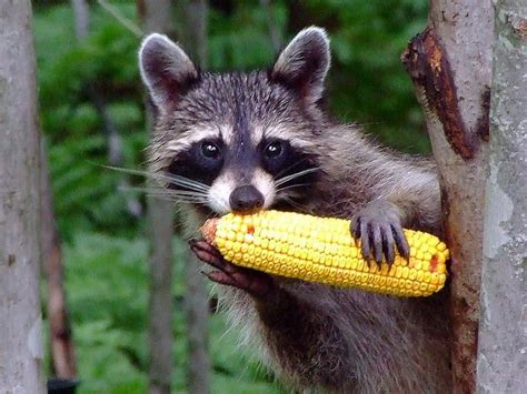 what do raccoons eat chicago il patch