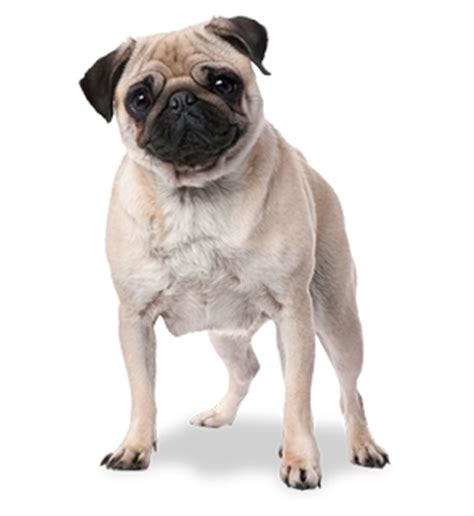 pug rodriguez perro pug png by melanie arce rodriguez we it