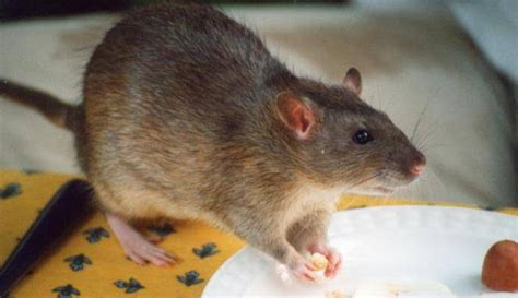 trik membuat jebakan tikus inilah trik agar tikus kapok bersarang dalam rumah