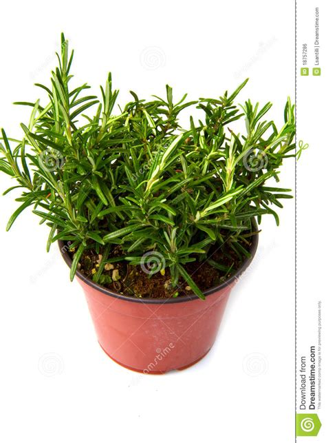 Plant In Vase by Rosemary Plant In Vase Royalty Free Stock Image Image