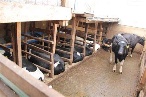 learn    eighth acre dairy farms     cows
