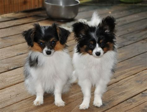 chion puppy shop black papillon mix www imgkid the image kid has it