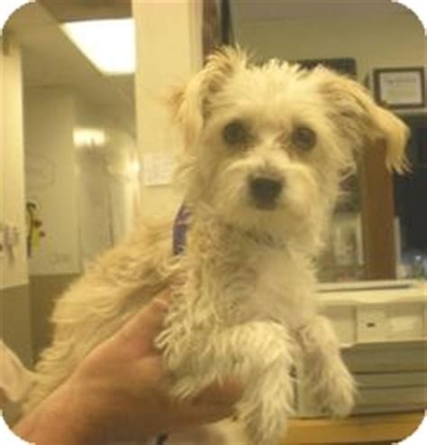 havanese and papillon mix chauncey a 10 mo 6 lbs adopted puppy mtdchance1002 corona ca havanese