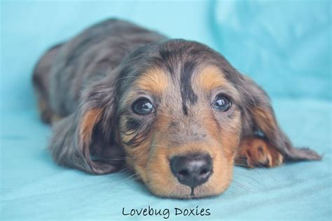 dachshund puppies for sale michigan the 25 best ideas about dachshund breeders on dachshunds for sale hair