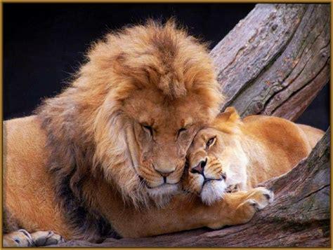 imagenes leones cazando tigres cazando leone s bing images