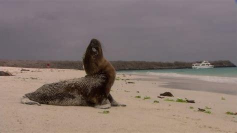lion de mer / floreana / galápagos | hd stock video 765
