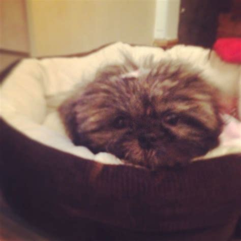 how much to feed shih tzu puppy 4 month shih tzu how much larger breeds picture
