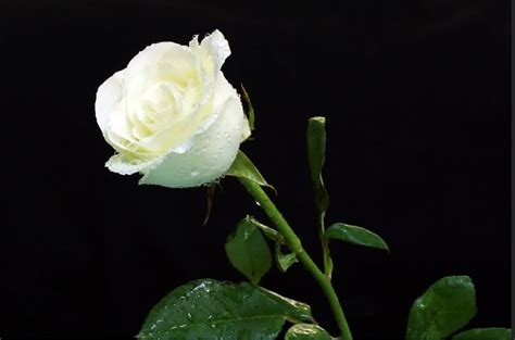 Pupuk Untuk Bunga Supaya Subur 10 cara menanam bunga mawar putih yang cantik
