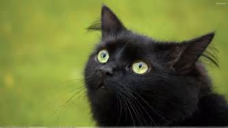 black cat in green eyes and green background wallpaper