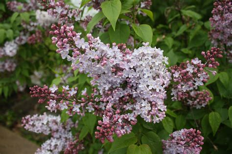 common flowering shrubs flowering shrubs donna s garden