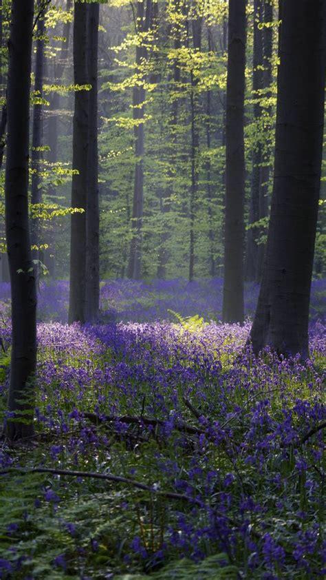 wallpaper forest bluebell sunlight spring halle