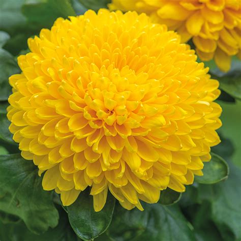 migoli yellow woolmans chrysanthemums