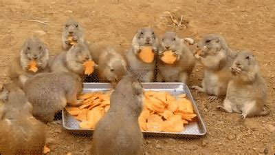 what do prairie dogs eat 15 animals who food as much as you do