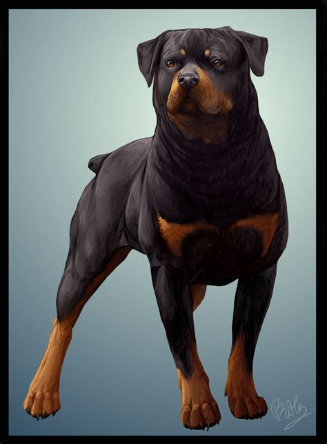 rottweiler drawings rottweiler by chibii on deviantart