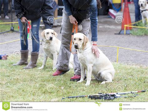 golden retriever guide blind with their guide dogs stock photo image