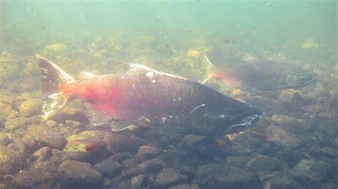 Fish Bio fishbio s 10th anniversary and the 2016 salmon run fishbio fisheries research monitoring