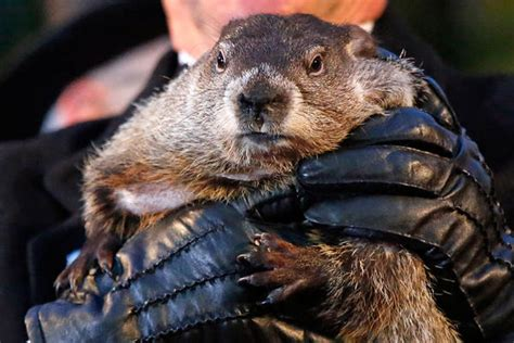 groundhog day accuracy extended winter or early groundhogs make their