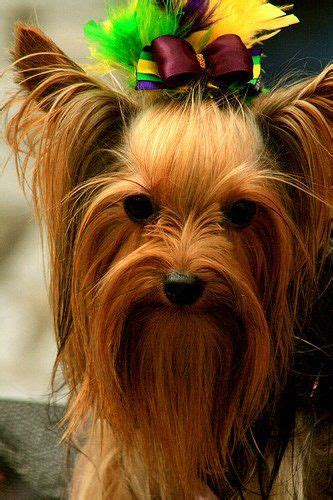 that looks like a yorkie 85 best yorkie haircuts images on yorkie yorkie haircuts and