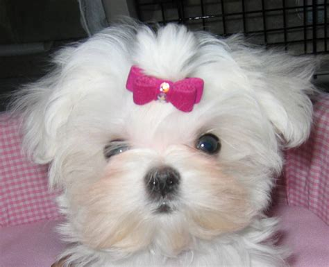 maltese puppies maltese photo and wallpaper beautiful maltese pictures