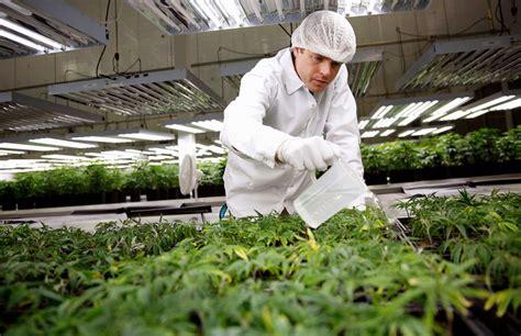 marijuana cannabis jobs careers   future