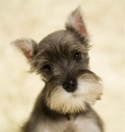 schnauzer puppy miniature schnauzer meurig kennels