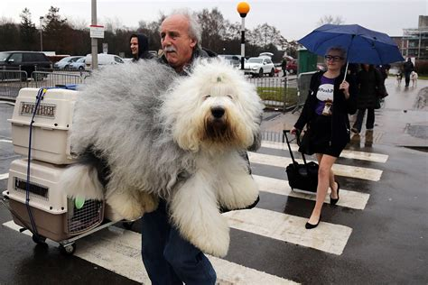 Crufts 2014: Contestants Arrive for World's Biggest Dog Show Largest Dog In The World 2014