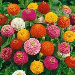 Houston Florist Lilliput Zinnias Seed Zinnia Mix Flower Seed