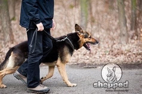 how to stop a german shepherd puppy from biting a german shepherd puppy to walk on leash