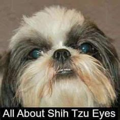 should you shave a shih poo beard or leave it long shih tzu puppy before and after dog grooming