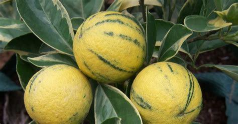 Bibit Buah Jeruk Sunkist Variegata pbn jeruk sunkist variegata dom kuning
