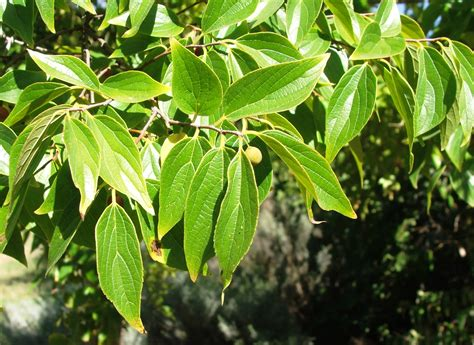 file celtis africana tree foliage south africa 8 jpg