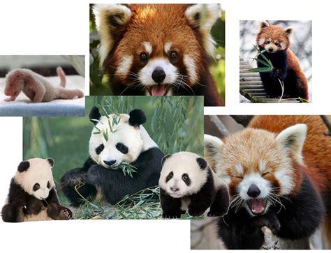 wallpaper panda hitam putih white blog panda hitam putih dan panda merah