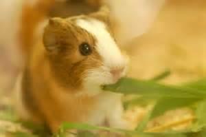 Abyruvian baby guinea pigs cute and tufty sevenoaks kent