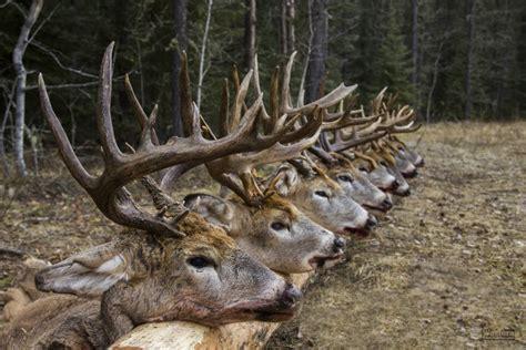 Du Deer Fit L pourvoirie western trophy outfitters chasse 224 l ours en saskatchewan et chasse aux chevreuils