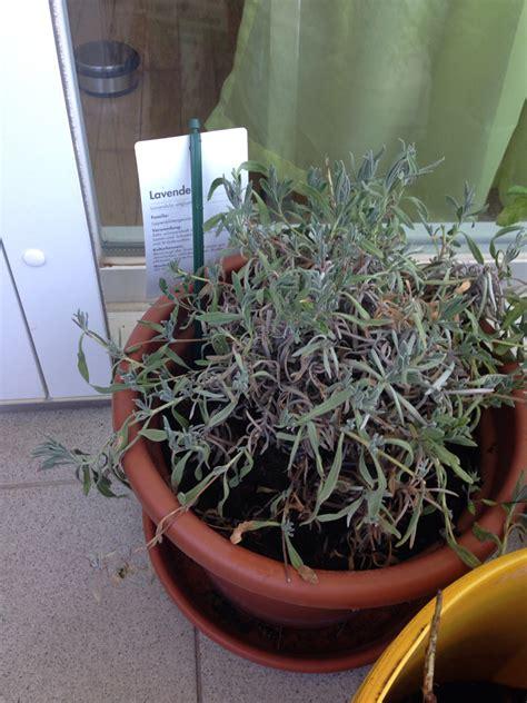 pianta lavanda in vaso pianta di lavanda