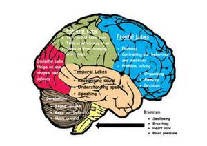my brain the 6 parts of the brain and what they do by