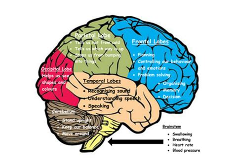sections of the brain and what they do my brain the 6 parts of the brain and what they do