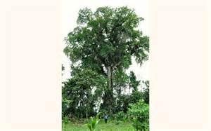 tree image cocobolo tree farm wild cashew