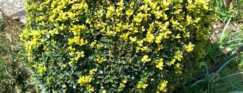kirschlorbeer braune blätter winter buchsbaum braune bl 228 tter hilfe mein buchsbaum bekommt