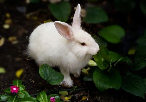 how does a a period how does a rabbit period last onehowto