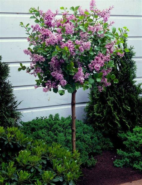 lilac tree korean lilac tree syringa palibin large standard