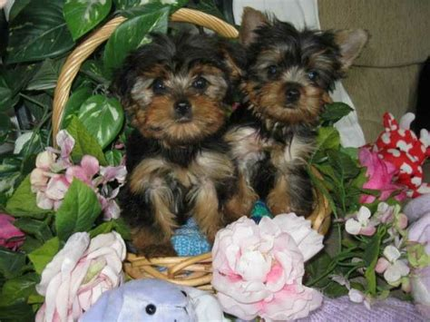yorkie dew claws registered and teacup yorkie puppies micro pocket teacup yorkie for